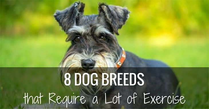dog breeds that require a lot of exercise