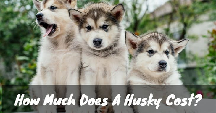 how much does a husky cost